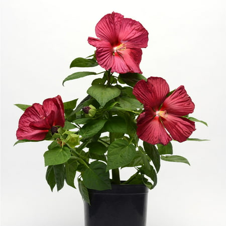 Luna series f1 hibiscus flower garden seeds red improved 100 luna series f1 hibiscus flower garden seeds red improved 100 seeds perennial flower gardening hibiscus moscheutos walmart mightylinksfo