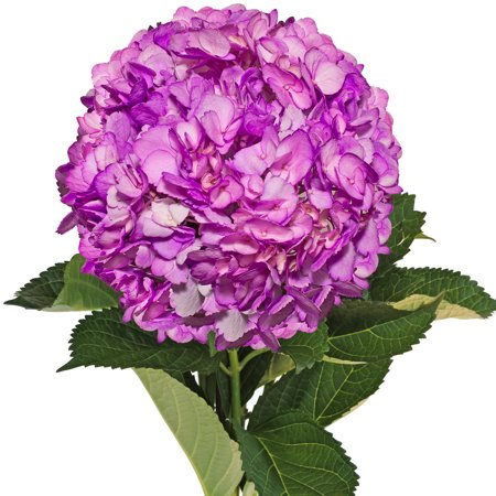 Image of Fresh Cut Airbrushed Lilas Hydrangeas, Pack of 15 by InBloom Group