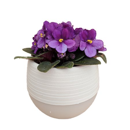 Miniature African Violet In 25 White Self Watering Pot Walmartcom