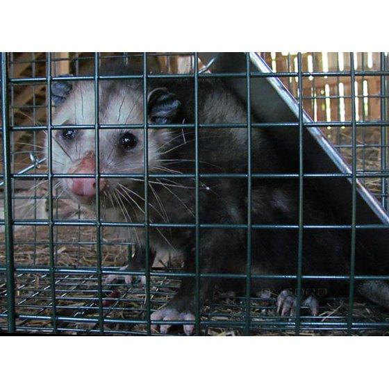 Oxgord Humane Pest and Rodent Control Live Animal Trap - Walmart com