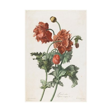 Pavot Cultive, from Fleurs Dessinees D'Apres Nature, C. 1800 Print Wall Art By Gerard Van - Nature Morte Fleurs