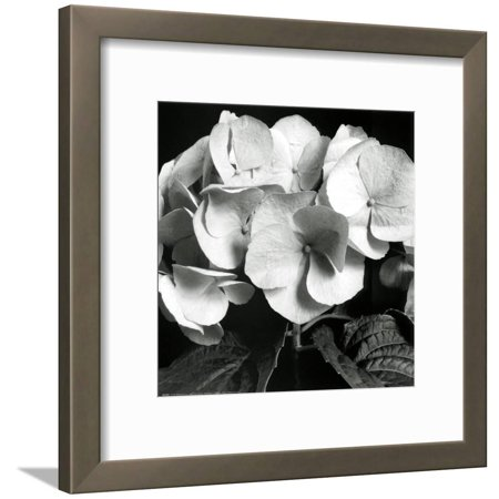 Hydrangea Framed Art (Hydrangea Framed Art Print Wall Art  By Darlene Shiels - 19x19)