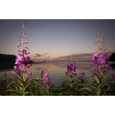Close Up Of Fireweed With Big River Lakes In The Background At Sunset In Southcentral Alaska During Summer Posterprint