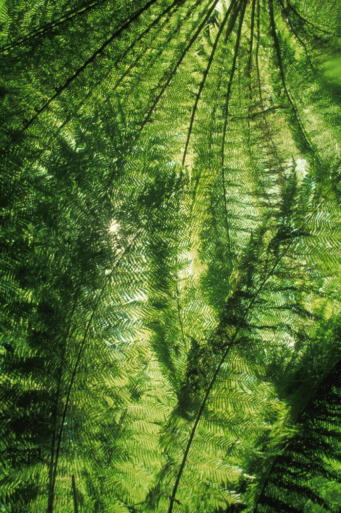 Click here to buy Canopy Of Green Ferns Canvas Art Carson Ganci Design Pics (11 x 17) by Supplier Generic.
