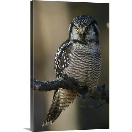 Great BIG Canvas   Doug Lindstrand Premium Thick-Wrap Canvas entitled Hawk Owl Perched On A Branch Near Bird Creek, Southcentral Alaska