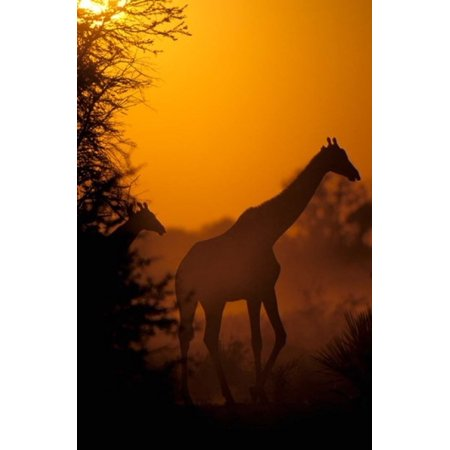 Southern Giraffe and Acacia Tree Moremi Wildlife Reserve Botswana Poster Print by Pete Oxford ()