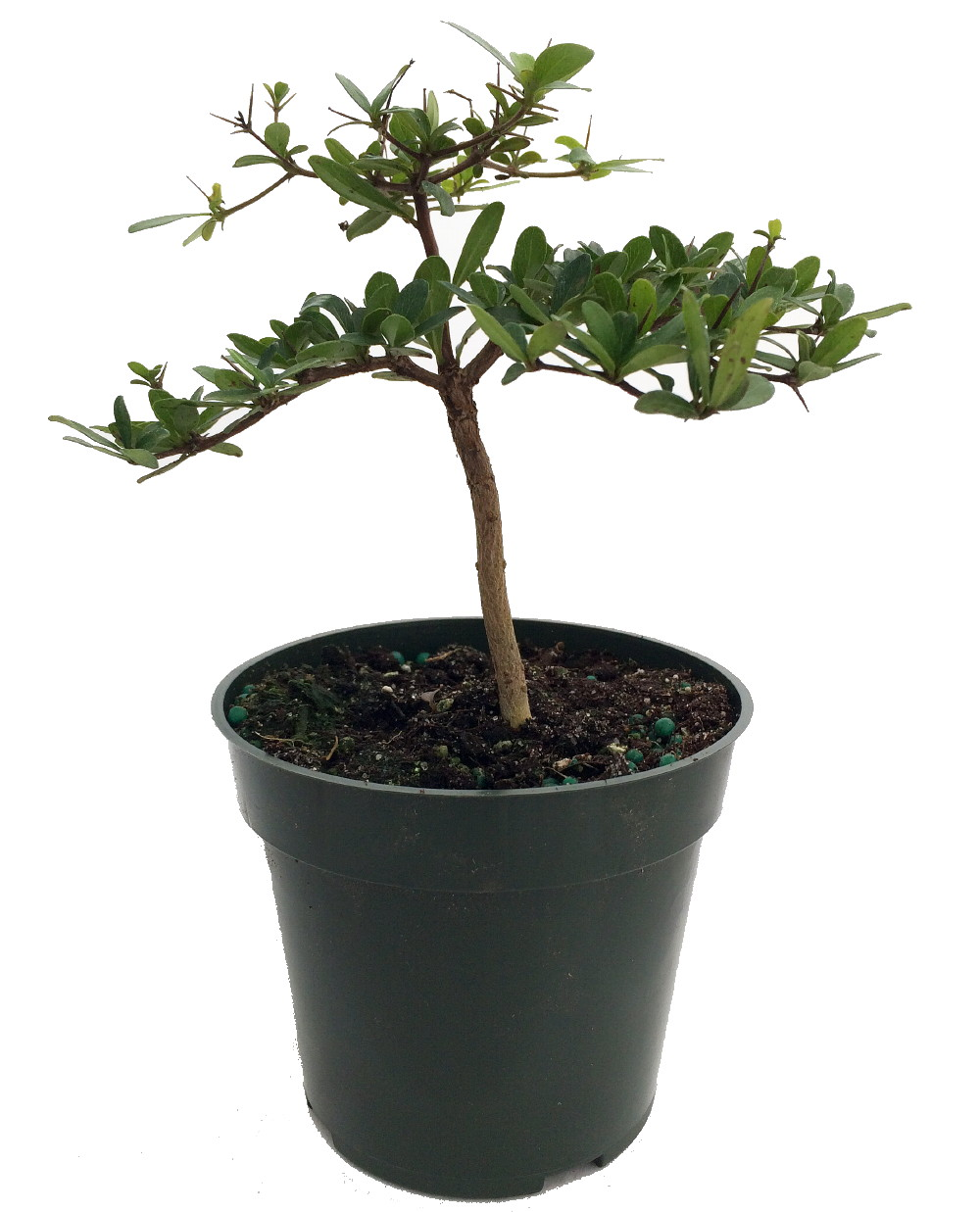 "Dwarf Black Olive Pre-Bonsai Tree Great Indoors 4"" pot Bucida spinosa by"