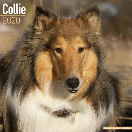 Collie Calendar 2020 - Collie Dog Breed Calendar - Collies Premium Wall Calendar 2020