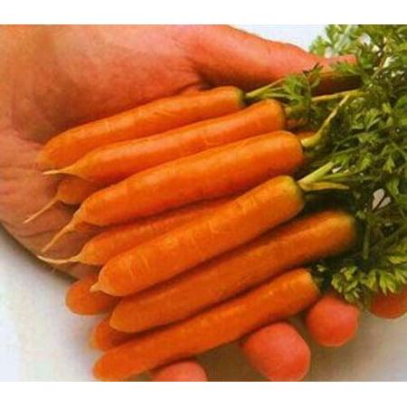 Carrot Little Finger Great Heirloom Vegetable 8,000 Seeds (Carrot Finger Food Halloween)