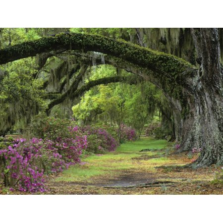 Stately Live Oaks, Quercus Virginiana, and Blooming Azaleas, Magnolia Plantation, Charleston, Sc Print Wall Art By Adam - Party City Charleston Sc