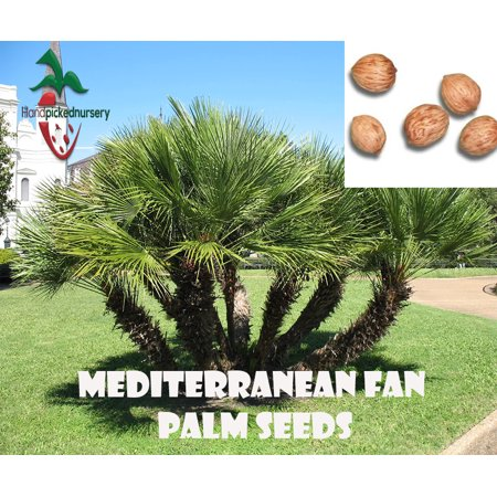 10 Mediterranean Fan Palm seeds, ( Chamaerops humilis ) from Hand Picked Nursery