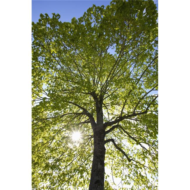 Posterazzi DPI1876736 Oregon, United States of America - Sunlight Shining Through A Tree Poster Print, 12 x 18 - image 1 de 1