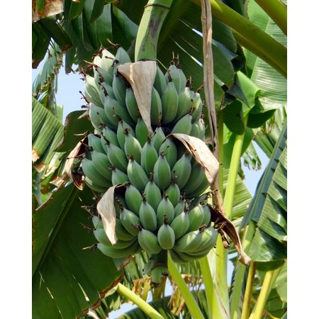 5 Dwarf Cavendish Banana- Tropical plant seeds -Container ror  Standard -Deck Plant- Fruit Tree -Musa -