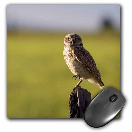 3dRose Burrowing owl on a fence post in Idaho - US13 DFR0248 - David R. Frazier, Mouse Pad, 8 by 8 inches