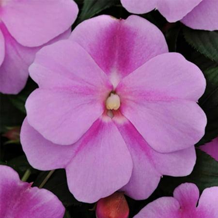 New Guinea Impatiens Flower Garden Seeds - F1 Divine Series - Lavender - 100 Seeds - Annual Flower Gardening Seeds - Impatiens hawkeri - Walmart.com