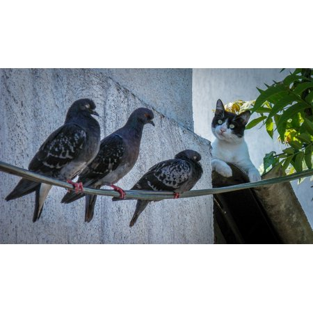 Dover Cast - LAMINATED POSTER Cat Birds Doves Animal Hunt Watch Domestic Roofs Poster Print 24 x 36