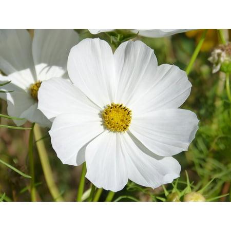 Laminated Poster White Cosmos Flower Cosmos Bipinnatus White Flower