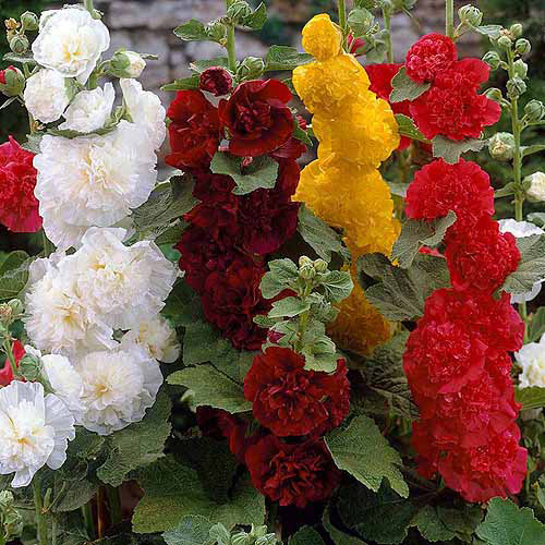 Image of Bloomsz Double Hollyhock Flower Bulb Mixture, Roots, 5pk