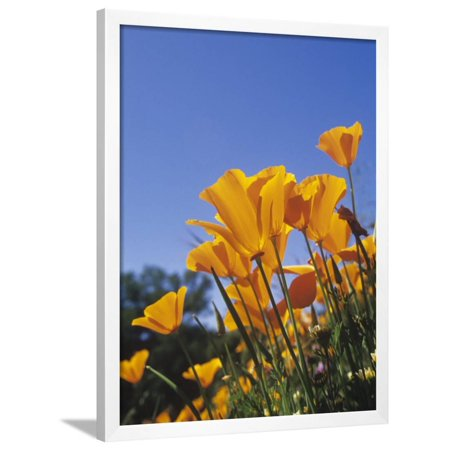 California Poppies, Eschscholzia Californica, the State Flower of California, USA Framed Print Wall Art By Adam Jones