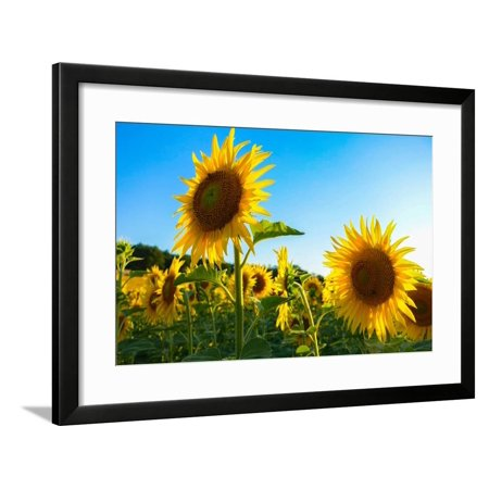Sunflowers, Near Chalabre, Aude, France, Europe Framed Print Wall Art By James Strachan