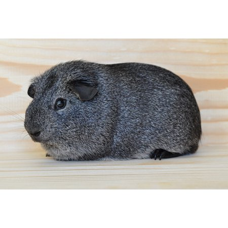 LAMINATED POSTER Animal Guinea Pig Pet Rodent Silver Smooth Hair Poster Print 24 x 36