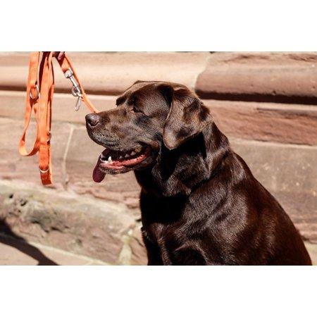 Labrador Retriever Paintings (LAMINATED POSTER Labrador Retriever Dog Brown Sitting Male Poster Print 24 x)
