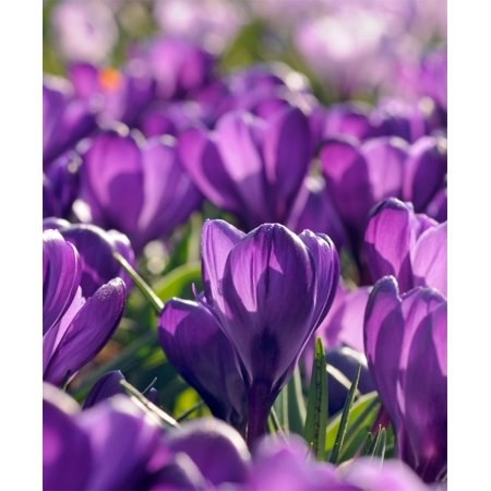 Heirloom Flower Bulbs - 25 CROCUS VERNUS FLOWER RECORD  9/+ cm Bulbs, Priority shipping upgrade free!