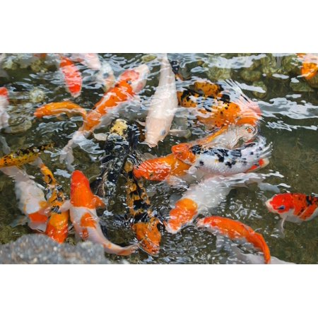 LAMINATED POSTER Pond Water Fish Koi Japanese Animal Koi Fish Poster Print 24 x 36 ()
