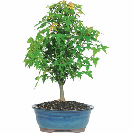 Brussel's Trident Maple Bonsai - Medium - (Outdoor) ()