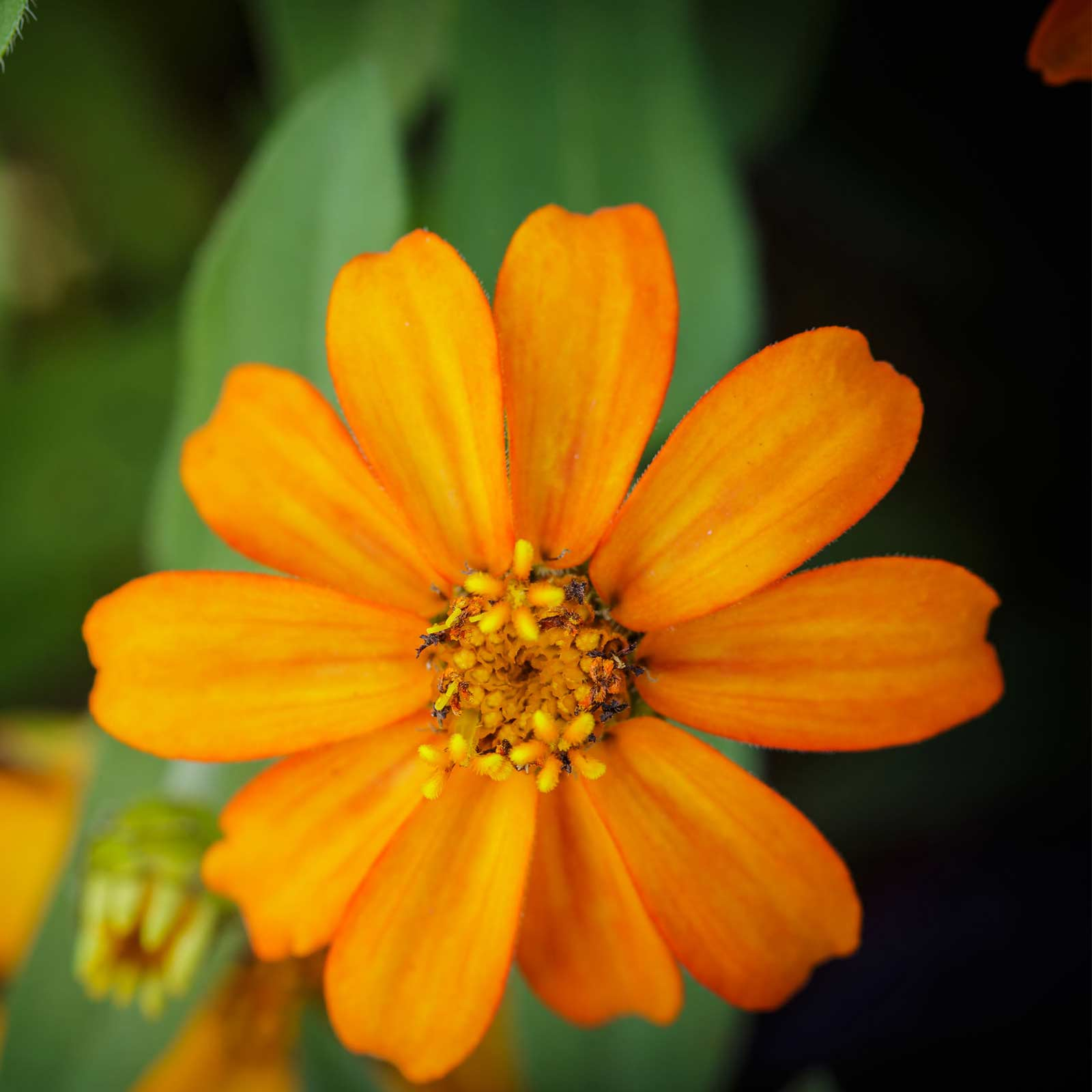 Zinnia Flower Garden Seeds - Cyrstal Series - Orange - 500 Seeds - Annual Flower Gardening Seed