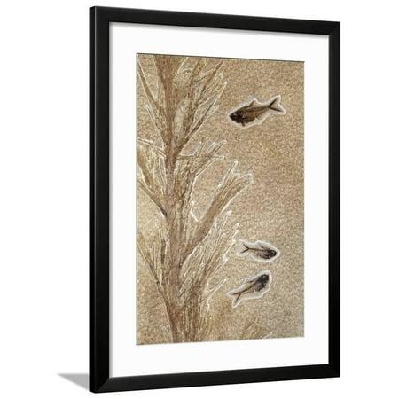 Knightia Fossil Fish Framed Print Wall Art By Dirk -