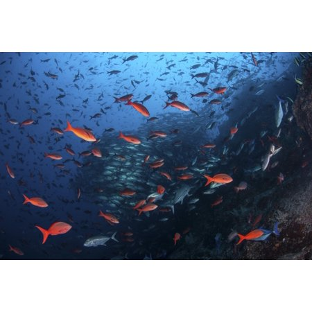 Colorful Pacific creolefish in deep water near Cocos Island Costa Rica Canvas Art - Ethan DanielsStocktrek Images (17 x 12)