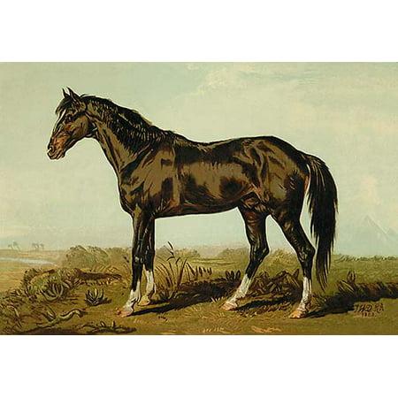 Dongola Horse Fine art canvas print (20