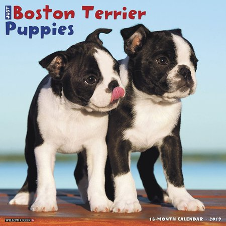 Earthscapes Puppies Wall Calendar - 2019 Just Boston Terrier Puppies Wall Calendar,  by Willow Creek Press