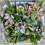 20 succulent clippings succulent cuttings