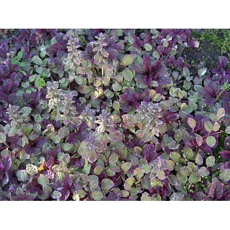 Burgundy Glow Ajuga 48 Plants - Carpet Bugle - Very Hardy -1 3/4
