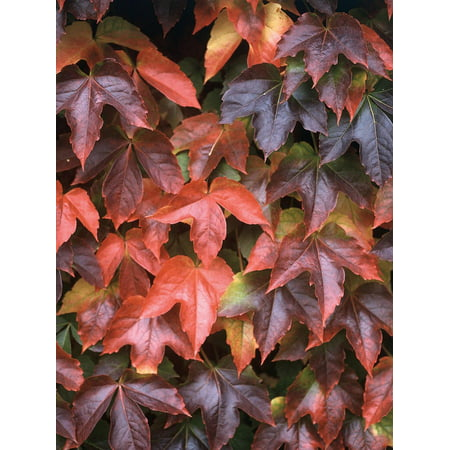 Boston Ivy Plant - Parthenocissus ticuspidata Veitchii - 2.5