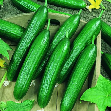 Beit Alpha CMR/MMR Cucumber Garden Seeds - 1 Oz - Non-GMO Vegetable Gardening Seeds - AKA Persian or Lebanese Cucumber