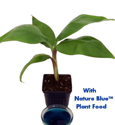 4 Pot Dwarf Banana Plant 9Greenbox
