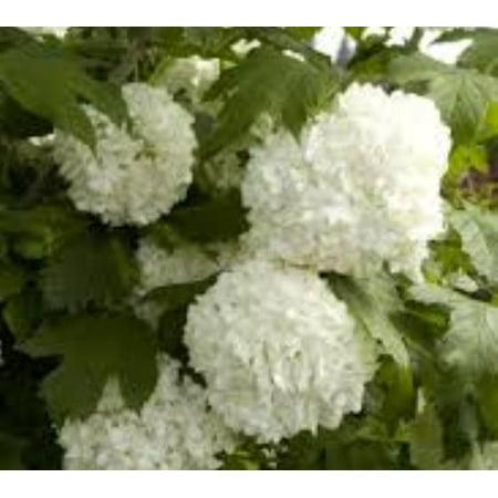 - Eastern Snowball Bush ( Viburnum ) - Live Plant - ( QT )
