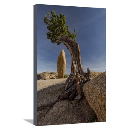 Twisted juniper growing from the granite rocks, Joshua Tree National Park Stretched Canvas Print Wall Art By Judith