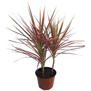 "Colorama Madagascar Dragon Tree - Dracaena marginata - 6"" Pot"