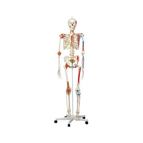 Anatomical Model - Sam the super skeleton on roller stand