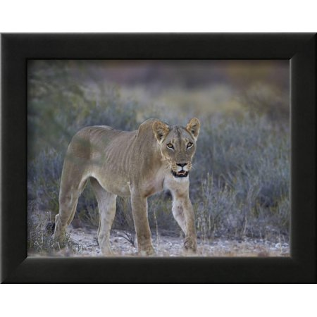 Lioness Panthera Leo Kgalagadi Transfrontier Park Framed