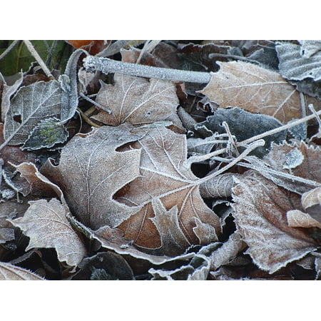Canvas Print Cold Frost Nature Maple Leaves Iced Frozen Leaves Stretched Canvas 10 x 14