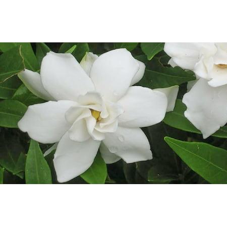 Frostproof Gardenia - Gardenia jasminoides - Cape Jasmine - 4
