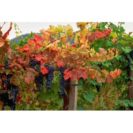 Estate Vineyard Cabernet - Close-up of Cabernet Sauvignon grapes on vine in a vineyard, Callahan Ridge Winery, Umpqua Valle... Print Wall Art