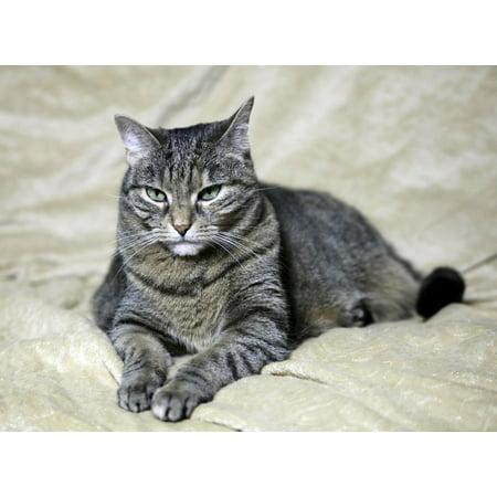 Laminated Poster Animal Face Cat Kitten Domestic Feline Pet Poster Print 24 x 36