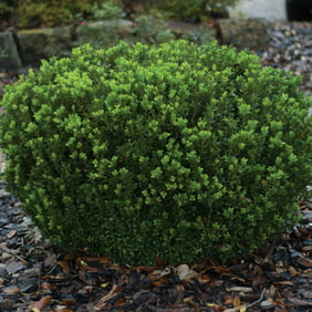 2 5 Qt Wintergreen Boxwood Korean Evergreen Shrub Live