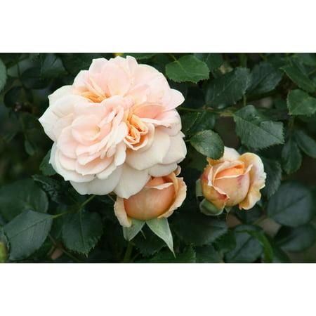 Cream Veranda™ Rose - Disease Resistant - 4